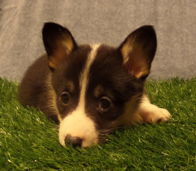 CORGI OWNER: Jeschke in Memphis, TN