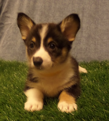 CORGI OWNER: Guthrie in Clarksville, TN