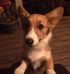 Daisy @ 6 Months - CORGI OWNER: Mather in Memphis, TN
