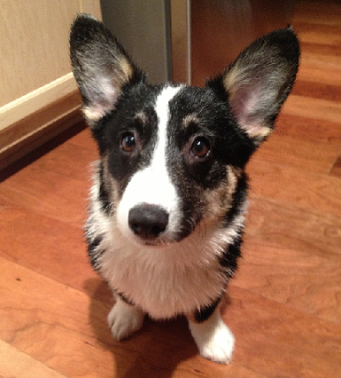 Rory @ 5 Months Old - Corgi Owner: Louis in Cordova, TN