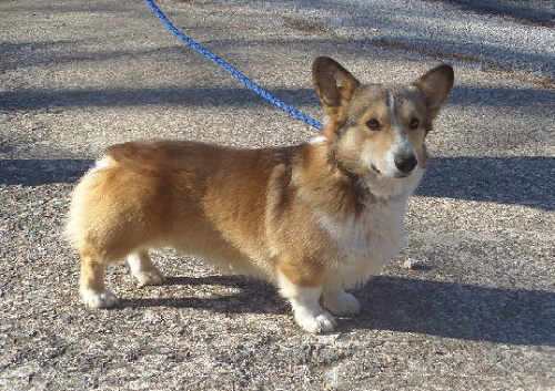 ROBIN HOOD - Pedigree for AKC Pembroke Welsh Corgi