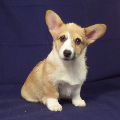 Maxwell Hammer - Corgi Owner: Robinson in Collierville, TN