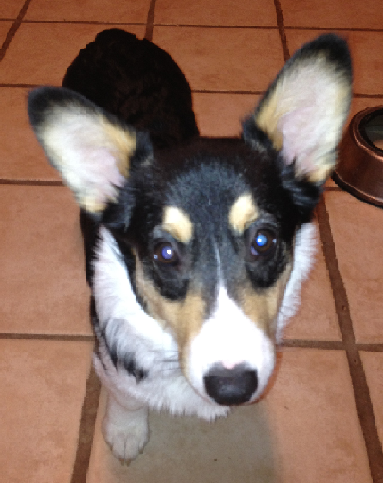 Evie @ 5 Months Old - CORGI OWNER: Sheriff in Lakeland, TN
