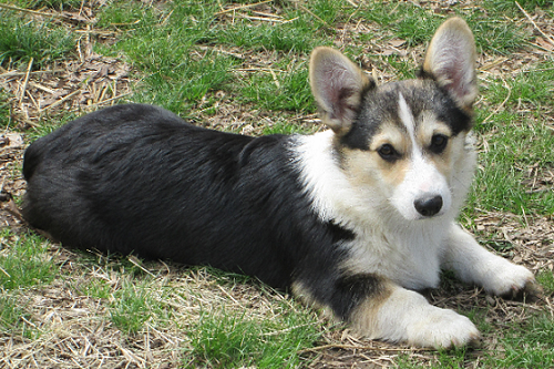 Allie @ 5 months old - Corgi Owner: Shevette in Cabot, AR
